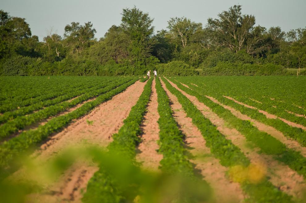 Agricultores se encontraban trabajando en el arado y limpieza de los campos de cultivo de Jatropha curcas, semilla que es principalmente utilizada para la elaboración de biocombustible, una prueba de que a pesar del conflicto ambiental que ofrece el chaco central aún es posible trabajar la tierra y producir. (Elton Núñez)