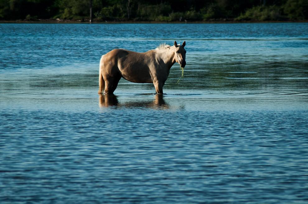 Un caballo aún sin domar se adentra en las aguas de la Laguna Capitán para alimentarse de las algas que flotan en la superficie,  las cuales se convierten en su dieta principal en épocas de abundante agua. Como las lagunas saladas son generalmente de aguas bajas y sin corriente, se propicia un ambiente ideal para la formación de extrañas algas y musgos que no acostumbramos ver en otras fuentes. (Elton Núñez)