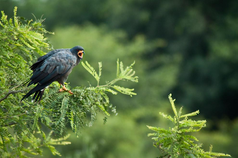 Un Milano Caracolero (Rostrhamus sociabilis) canta posado en las ramas de un árbol mientras vigilaba su territorio. Vuela lentamente, con la cabeza hacia abajo en busca de su comida favorita, los caracoles. En el territorio en donde vive se suelen encontrar restos de caracoles a montones. (Elton Núñez)