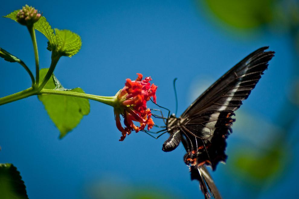 """Una mariposa se posa en una flor para alimentarse de su polen en el """"Jardín de las mariposas"""" del Parque de las aves en Foz de Iguazú. El lugar que fue visitado masivamente en las fechas de feriados de la semana santa. (Elton Núñez)"""