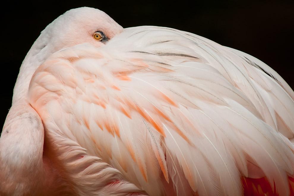 Un Flamenco austral (Phoenicopterus chilensis) nos observa mientras toma una siesta en la típica posición que adoptan las aves cuando dormitan, ocultando su pico entre sus plumas. Decenas de esta especie son vistas en el Parque de las aves en Foz de Iguazú. (Elton Núñez)