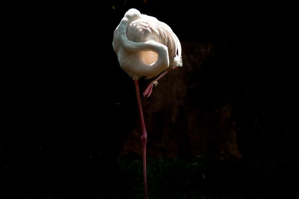 Un Flamenco austral (Phoenicopterus chilensis) toma una siesta en la típica posición que adoptan las aves cuando dormitan, ocultando su pico entre sus plumas y utilizando sólo una pata. Decenas de esta especie son vistas en el Parque de las aves en Foz de Iguazú. (Elton Núñez)