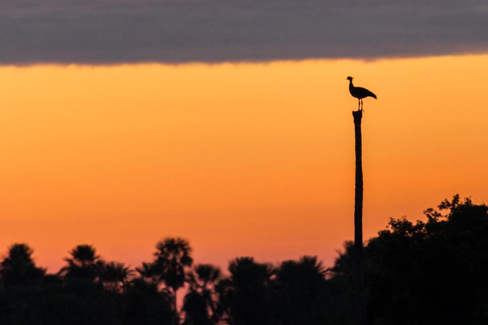 Un Chahá (Chauna torcuata) hace una parada sobre un tronco durante un hermoso atardecer en cielo chaqueño. (Tetsu Espósito)