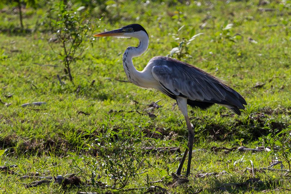 La Garza Mora (Ardea cocoi), un ave de gran tamaño, puede ser fácilmente vista en el Pantanal paraguayo. (Tetsu Espósito)