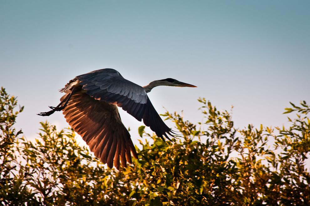 Una Garza Mora (Ardea cocoi) emprende vuelo cuando nos vio llegar, durante un atardecer en las cercanías de la Estación Biológica Tres Gigantes, mientras hacíamos un recorrido por lancha para retratar especies de la zona. (Elton Núñez)