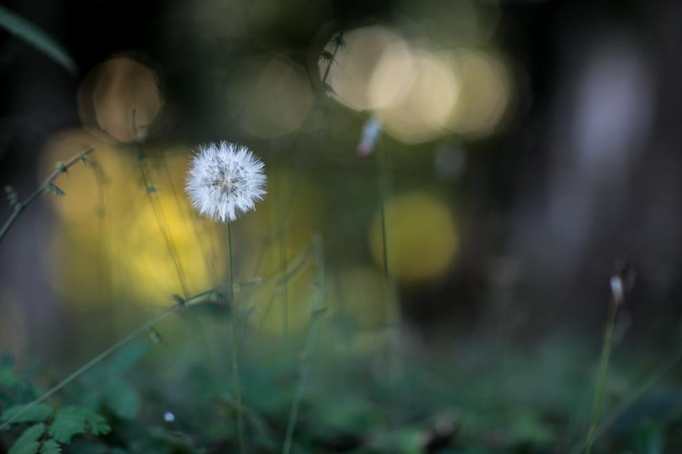 Un diente de león, de la familia Asteraceae, dispersa sus semillas gracias al viento, una vez que la floración ha terminado, en uno de los tantos senderos de Colonia Independencia. (Tetsu Espósito)