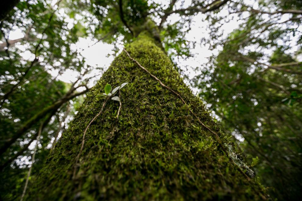 Un gran árbol en la Reserva de Mbaracayú, crece cubierto de musgos. Los bosques húmedos dan lugar a una gran variedad de especies de plantas que utilizan los árboles como sostén. Varias especies de musgos, líquenes, orquídeas y otras plantas epifitas pueden encontrarse en un solo árbol. (Tetsu Espósito)