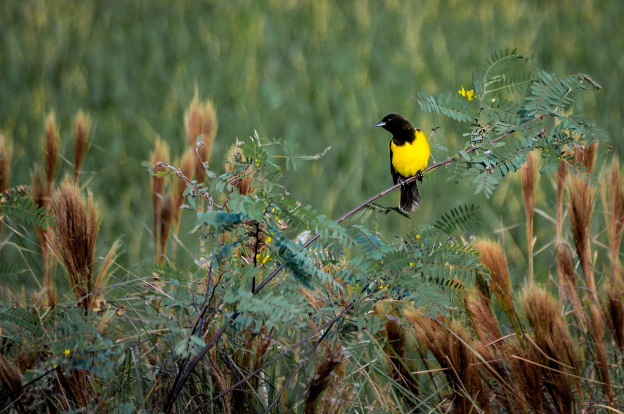 Un Pecho Amarillo (Pseudoleistes virescens) se posa en un arbusto durante la tarde del 3 de junio en la ruta 3, a la altura de Arroyos y Esteros. Naturalmente esta ave es originaria de Argentina y Uruguay, hoy en día lo vemos por los esteros de Paraguay. (Elton Núñez).