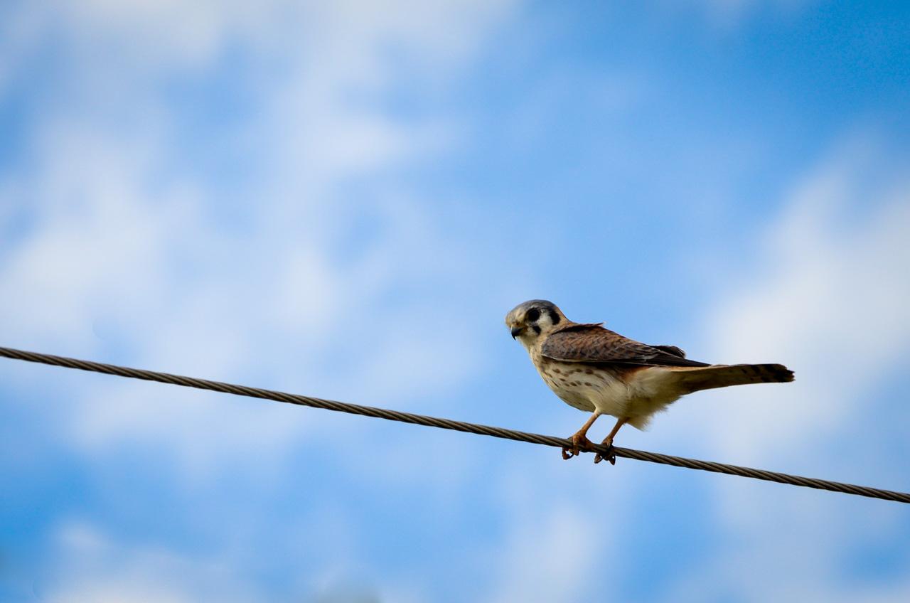 En los pastizales de la localidad de 25 de Diciembre, el Halconcito Colorado (Falco sparverius) se posa sobre un cable de electricidad vigilando la zona por una presa que podría ser pequeños reptiles, insectos, anfibios e incluso roedores. (Elton Núñez).