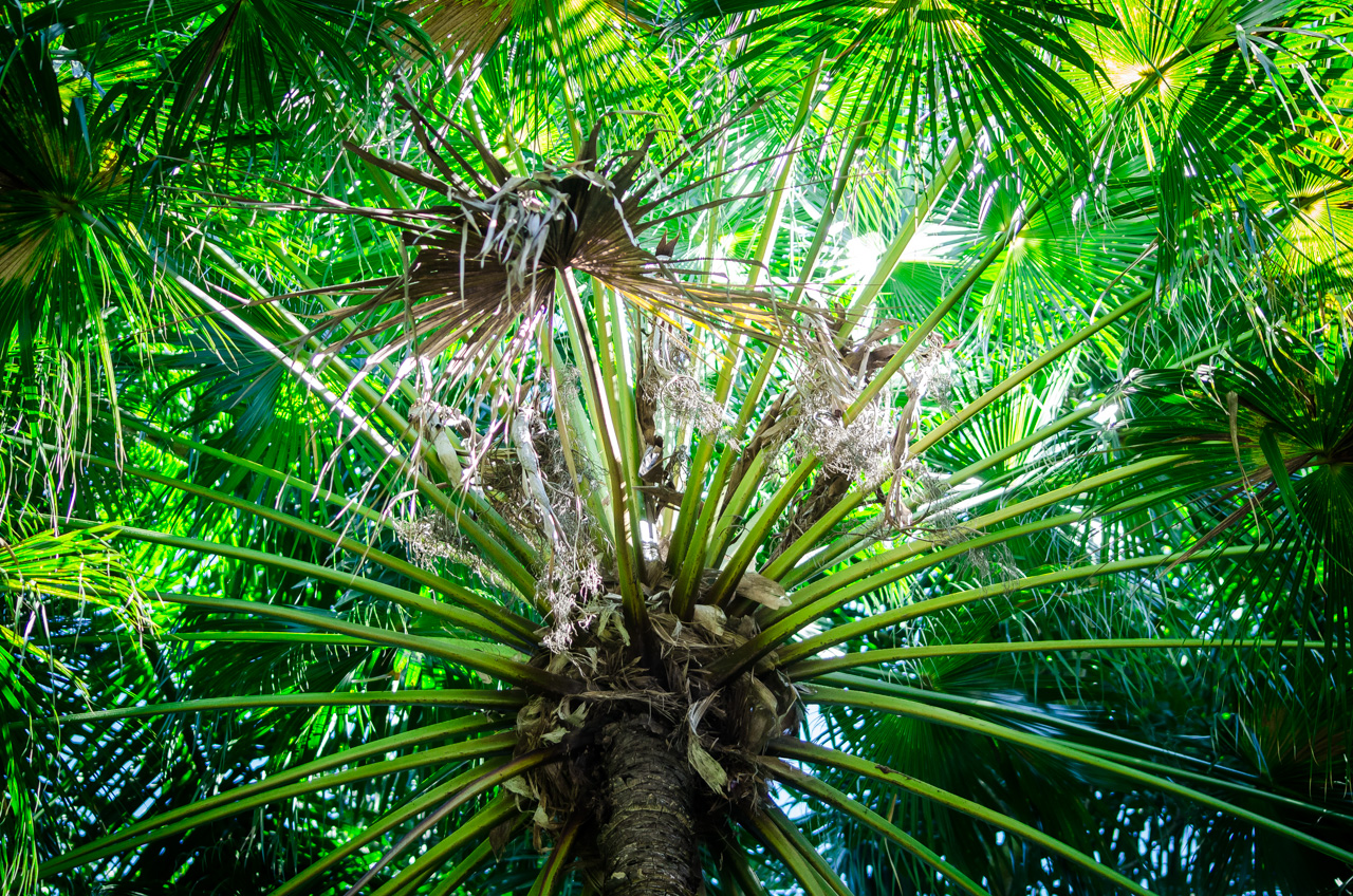 Una palmera es vista en medio del denso bosque del Puerto Bertoni, donde habitaba el naturalista y botánico Moisés Bertoni, a metros de la casa donde vivía. (Elton Núñez).