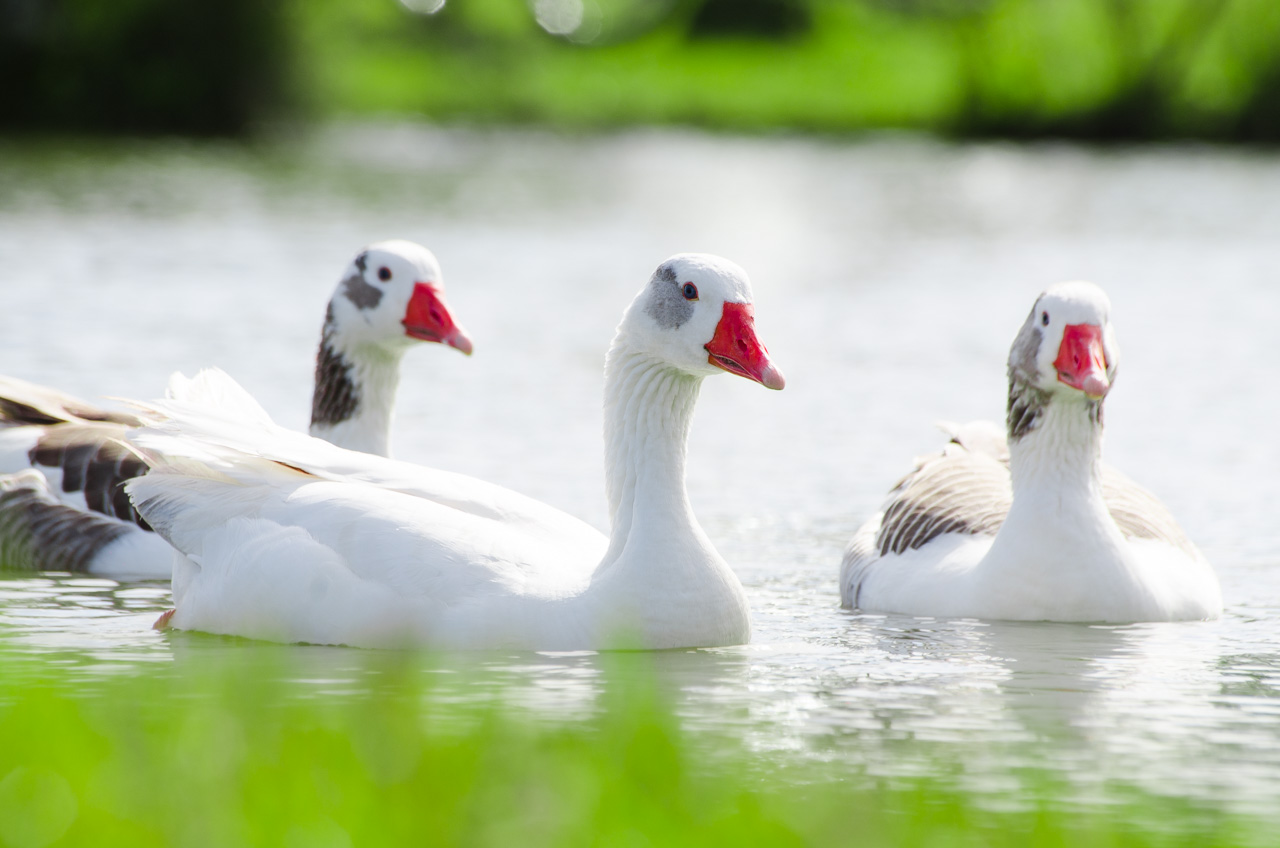 """Gansos domésticos nadan en una laguna dentro de la propiedad conocida como """"La Escondida"""", lugar donde se lleva a cabo habitualmente eventos de jineteadas en las afueras de la ciudad de San Juan. (Elton Núñez)."""