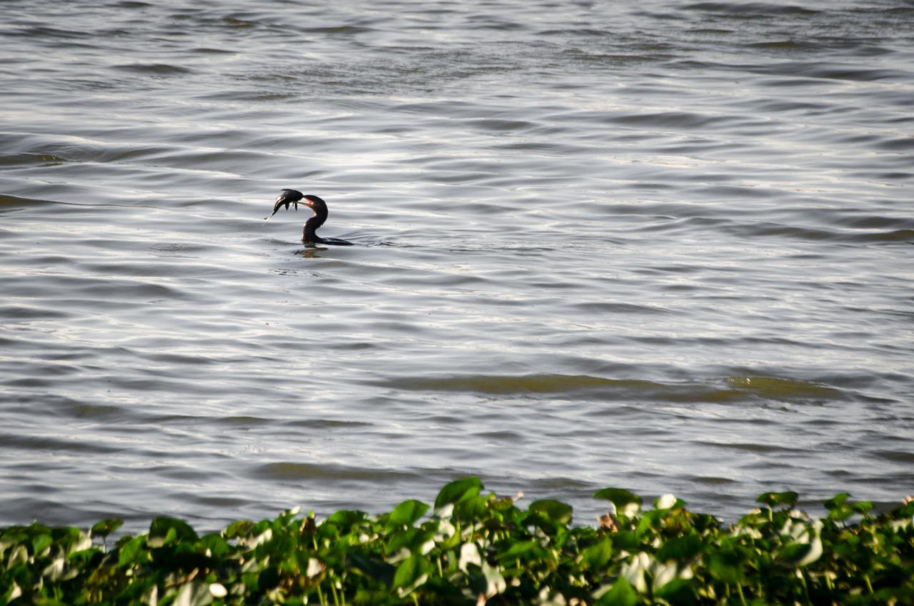 """Un Mbiguá (Phalacrocorax brasilianus) intenta engullir entero a un """"armado"""", un pez de río cuyo aspecto impresiona por la cantidad de púas y escamas que tiene. En una tarde de domingo en la bahía de Asunción. (Elton Núñez)."""