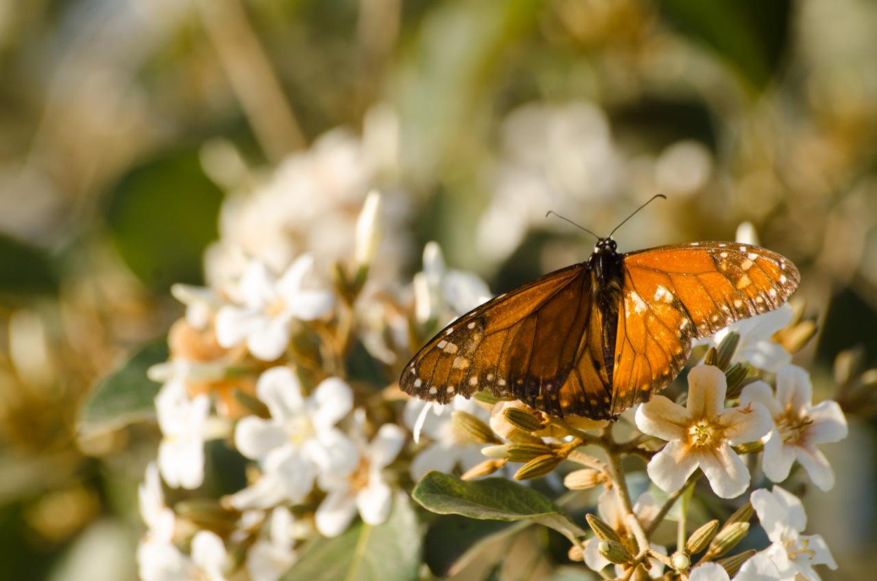 Una mariposa monarca se posa en las flores de un árbol del mirador que se encuentra en la bahía de Asunción, al lado de la costanera. (Elton Núñez).