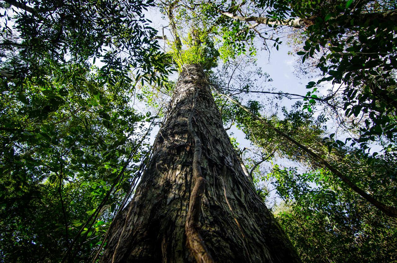 En las expediciones por el bosque de la reserva Mbaracayú, hay varias oportunidades de pararse frente a árboles gigantes como el de esta fotografía, este Yvyra pytã de casi 200 años es abrazado tradicionalmente por los aventureros, así lo indica un letrero a sus pies. (Elton Núñez).