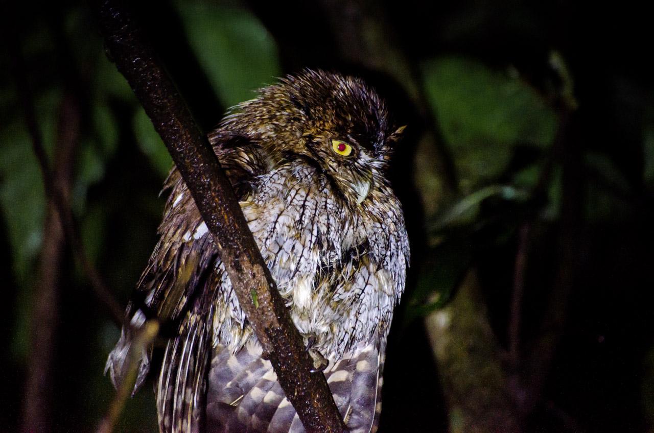 Una Lechucita común (Megascops choliba) vigila el bosque desde una rama, esperando por una presa para cazar. En una noche lluviosa, la lechuza se refugia bajo los árboles y no interrumpe su caza. (Elton Núñez).