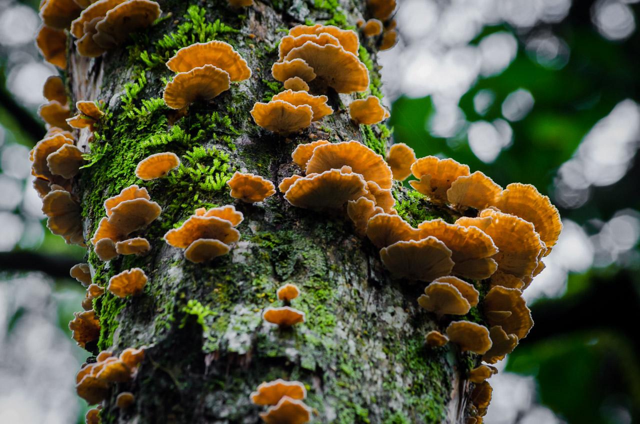 Los hongos en el tronco de los árboles (Trametes versicolor) son como adornos del bosque. En el bosque Mbaracayú se pueden ver una variedad incontable de hongos, algunos con formas muy curiosas y otros de colores vívidos. (Elton Núñez).
