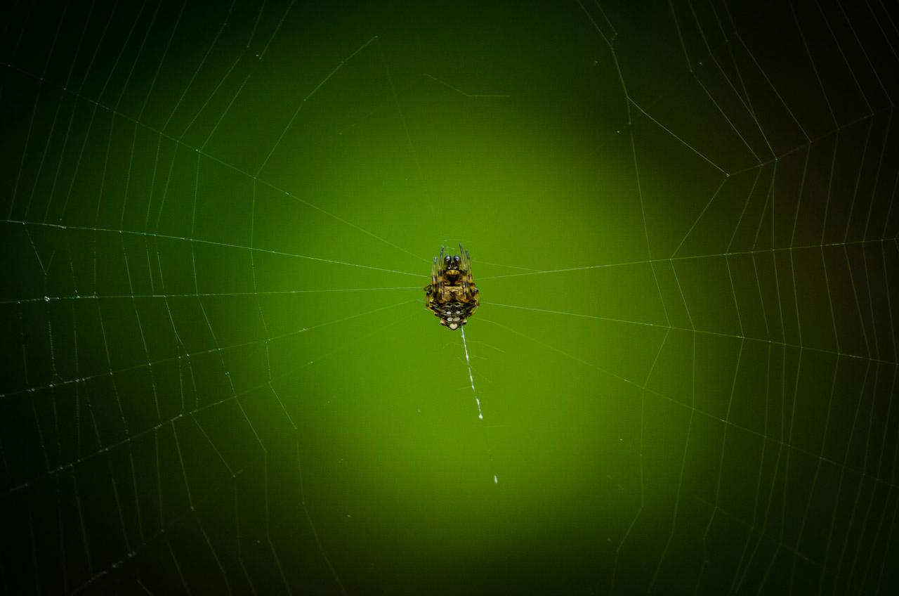 Una pequeña araña se ubica en el centro de su red para sentir en cualquiera de sus patas alguna vibración a lo largo del tejido cuando una presa es atrapada. (Elton Núñez).