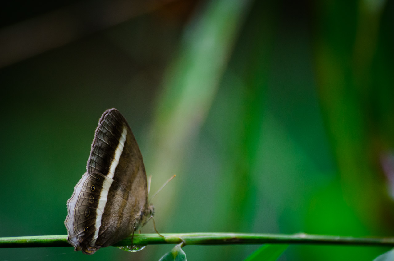 Una mariposa bebe agua de una gota, en una rama, cuando ya amaneció en el bosque Mbaracayú. (Elton Núñez).