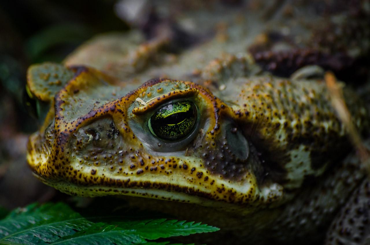 Un sapo se ocultaba entre las hojas húmedas del bosque, luego de una noche lluviosa. (Elton Núñez).