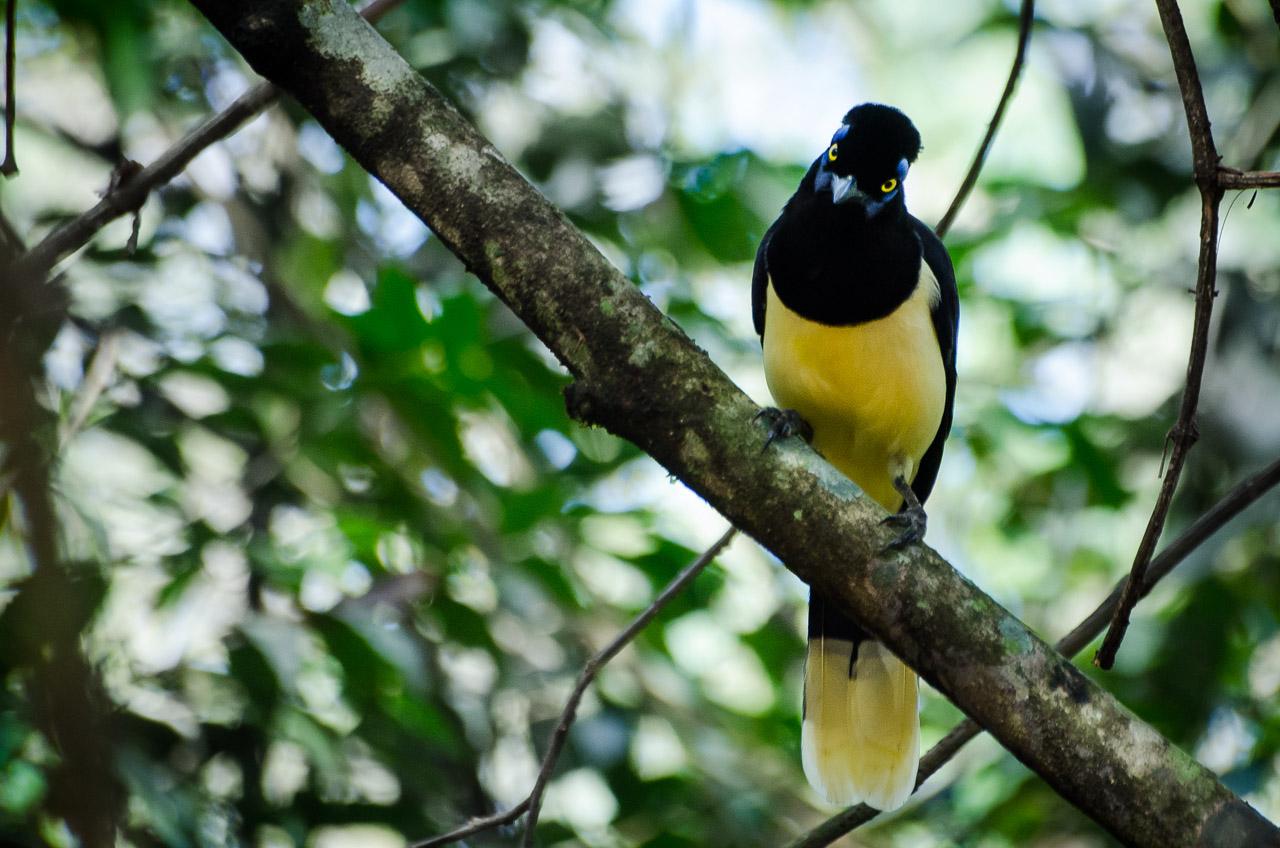 Una urraca común (Cyanocorax chrysops), se posa en las ramas bajas de los árboles del bosque Mbaracayú, le gusta las frutas y es muy inquieta. Se pasa de rama en rama en busca de alimento con su vuelo silencioso. (Elton Núñez).