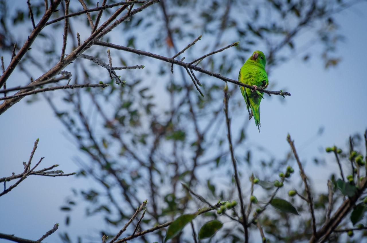 La Catita enana (Forpus xanthopterygius) sube a lo alto de los árboles para recibir el calos de los rayos del sol durante una fria mañana en la Reserva Natural del Bosque Mbaracayú. (Elton Núñez).