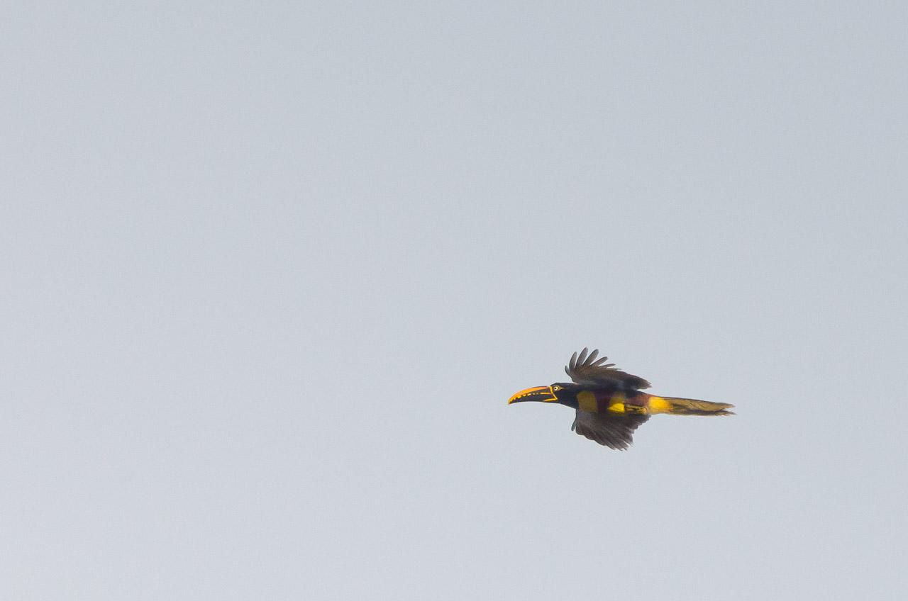 El Arasarí Fajado (Pteroglossus castanotis) vuela para trasladarse de copa en copa en un frío amanecer en la Reserva Natural del Bosque Mbaracayú. (Elton Núñez).